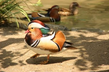 Mandarin ducks in Inokashira Park zoo.