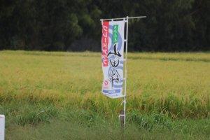 Un champ de riz Yamada Nishiki