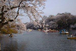 O lago Inokashira, onde pode andar de barco a remos e a pedais