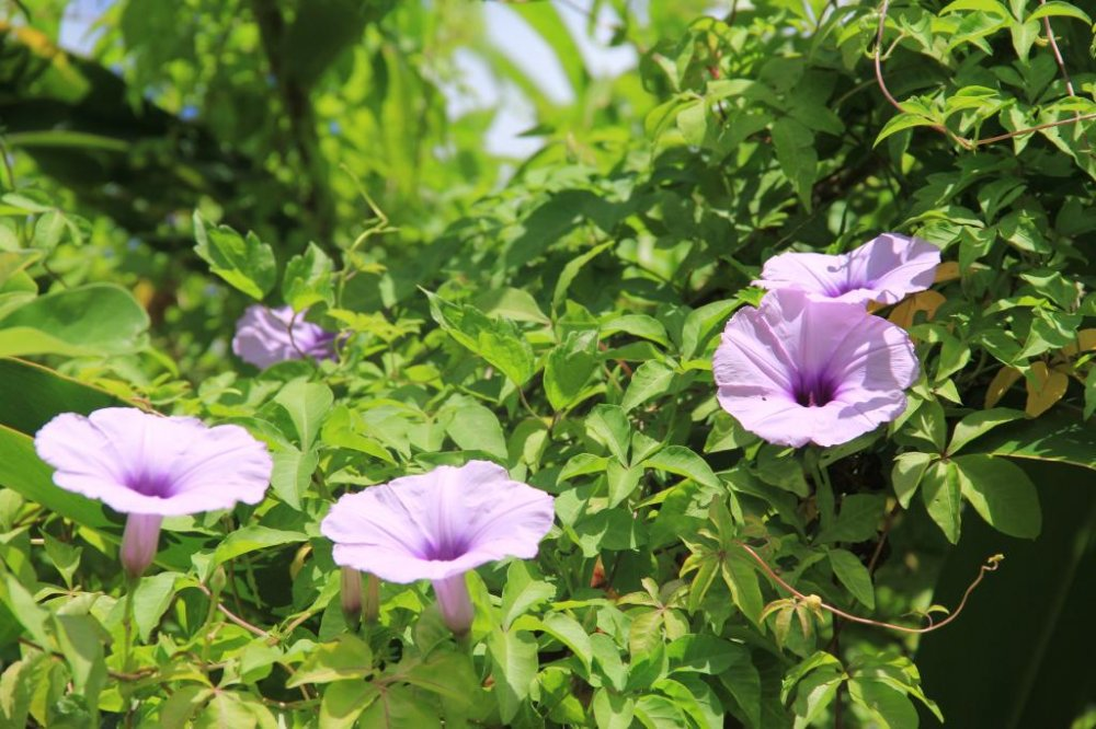 Pretty asagao plants bloom in the dense vegetation along the walking and running trails