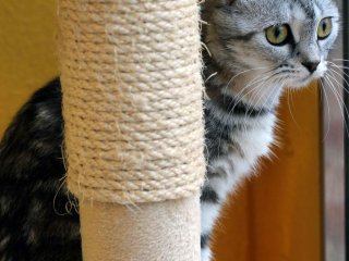 Scottish Folds are one of the speciality breeds found at this cat cafe.