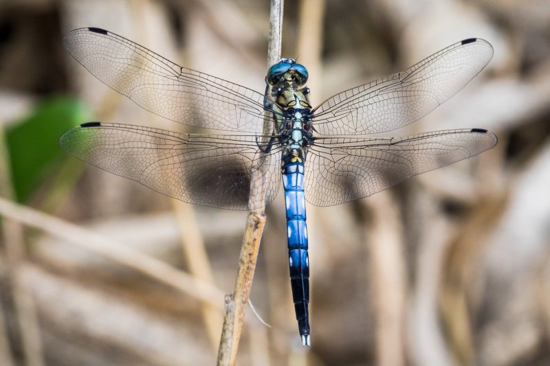 A White-Tailed Skimmer (Orthetrum albistylum speciosum), one of the species of dragonfly here