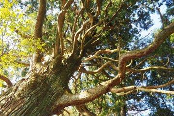 Nejiki Tree