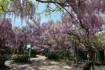 Sera Fuji Garden