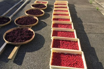 Pickled plum (umeboshi) making experience