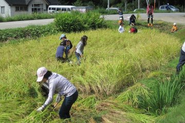Experience the harvesting of rice