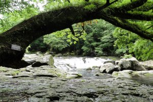 A tree frames the river at Kikuchi Gorge