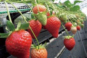 Voilà pourquoi nous allons cueillir des fraises à San'yo Onoda
