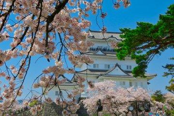 Odawara Castle during Sakura season