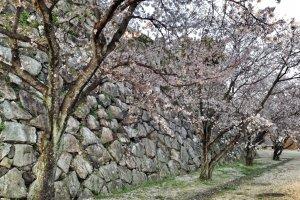 Sakura at Saga Castle (April 2014)