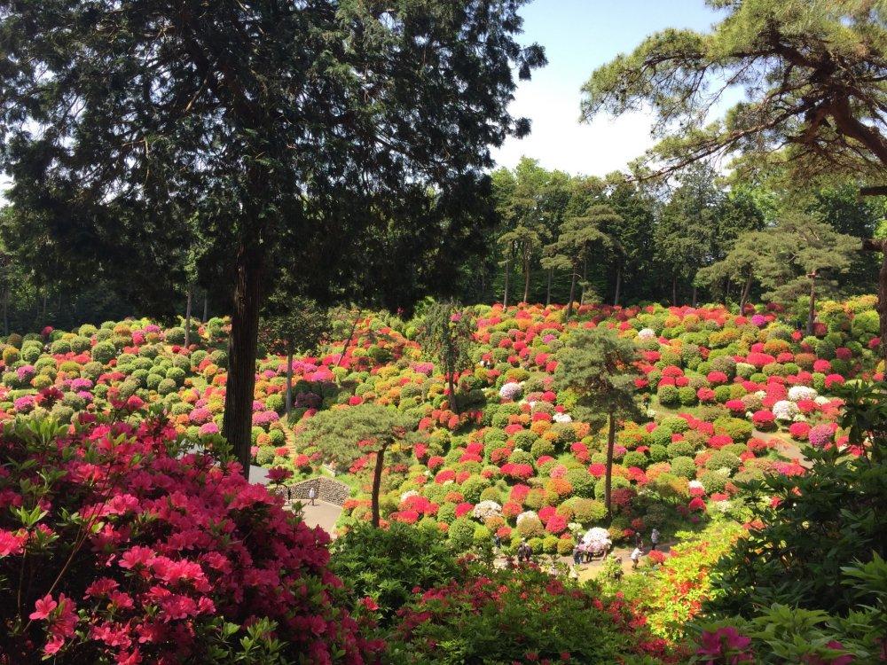 ดอกอะเซลเลียในฤดูใบไม้ผลิของที่นี่นั้นสวยงามตระการตา