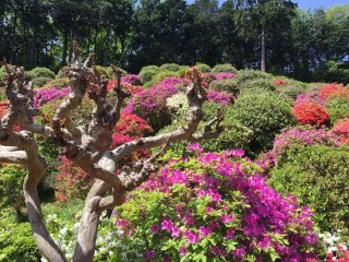 The azaleas come in shades of pinks, purples, reds and white