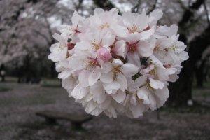 Соцветия сакуры