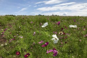 There are fields full of cosmos to enjoy