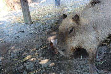 The Capybara is the largest rodent in the world.
