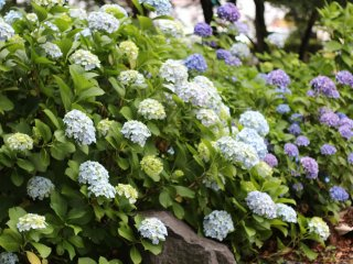 Hydrangeas spectacularly bloom during tsuyu (rainy season).