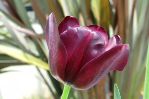 Очень красивый тюльпан