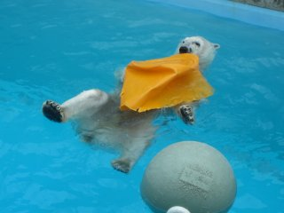 Beruang kutub sedang bermain