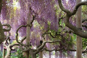Небольшое дерево фудзи