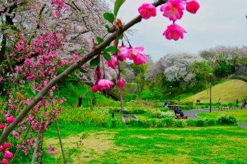 Сезон цветения сакуры в префектуре Канагава