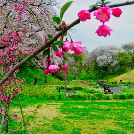 Kanagawa Prefecture Sakura Season