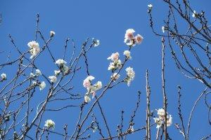 Сакура, цветущая дважды в год