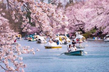 20 Tempat Sakura Terbaik di Jepang