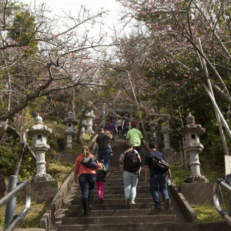 오키나와의 벚꽃
