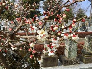 Pohon plum di Shinkoji yang selamat dari tornado