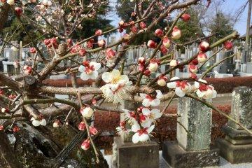 Pohon Plum Tangguh di Kuil Shinkoji