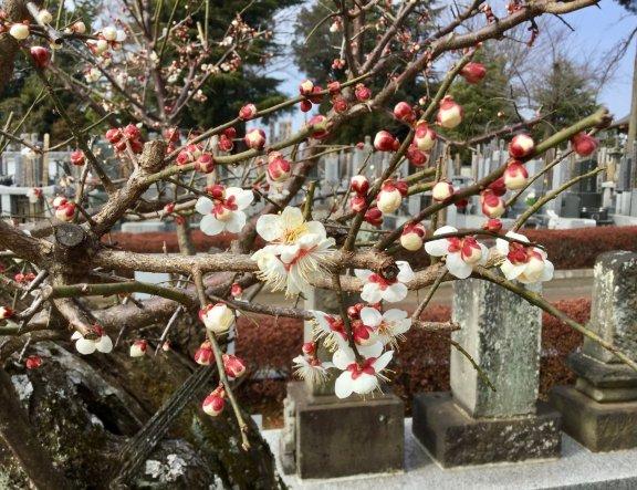 Shinkoji Temple's Tough Plum Trees