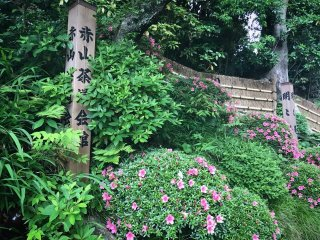 Azaleas outside the entrance to Meimei-an Teahouse