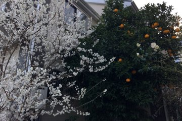 Mankai - every bud has turned into a blossom.