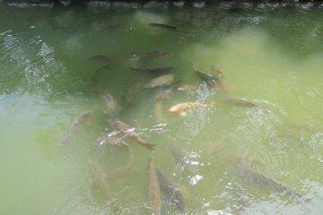 ในคูน้ำมีปลาคาร์ฟอยู่มากมาย