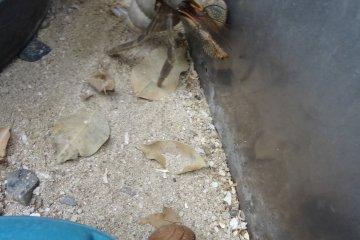 นอกจากตัวหนอนและผีเสื้อแล้ว ในสวนยังมีปูเสฉวนของโอกินะวะให้ชมอีกด้วย