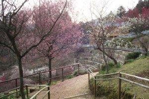 Plum blossoms on Ishiyama-dera grounds