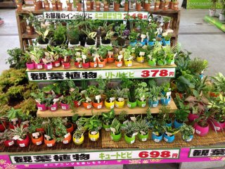 Starter indoor plants are attractively priced and incude a colorful pot