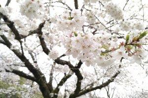 Se visitar nos últimos dias de Março ou no início de Abril, pode ver as cerejeiras em flor