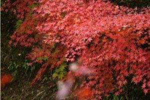 雨中的红叶