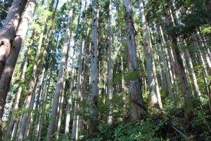 The wild woods around Kurama Temple