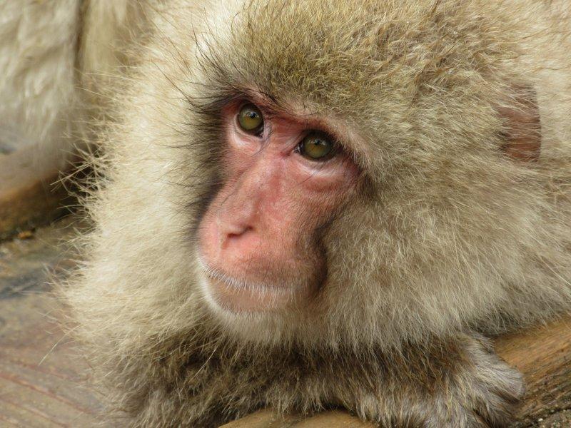 Baby monkey at the Jigokudani Yaen Koen