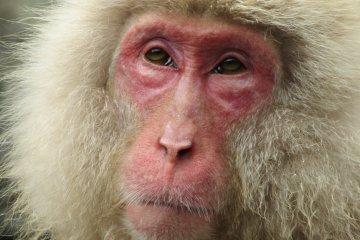 The monkey portrait