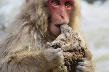 Baby monkey checks if it's edible or not
