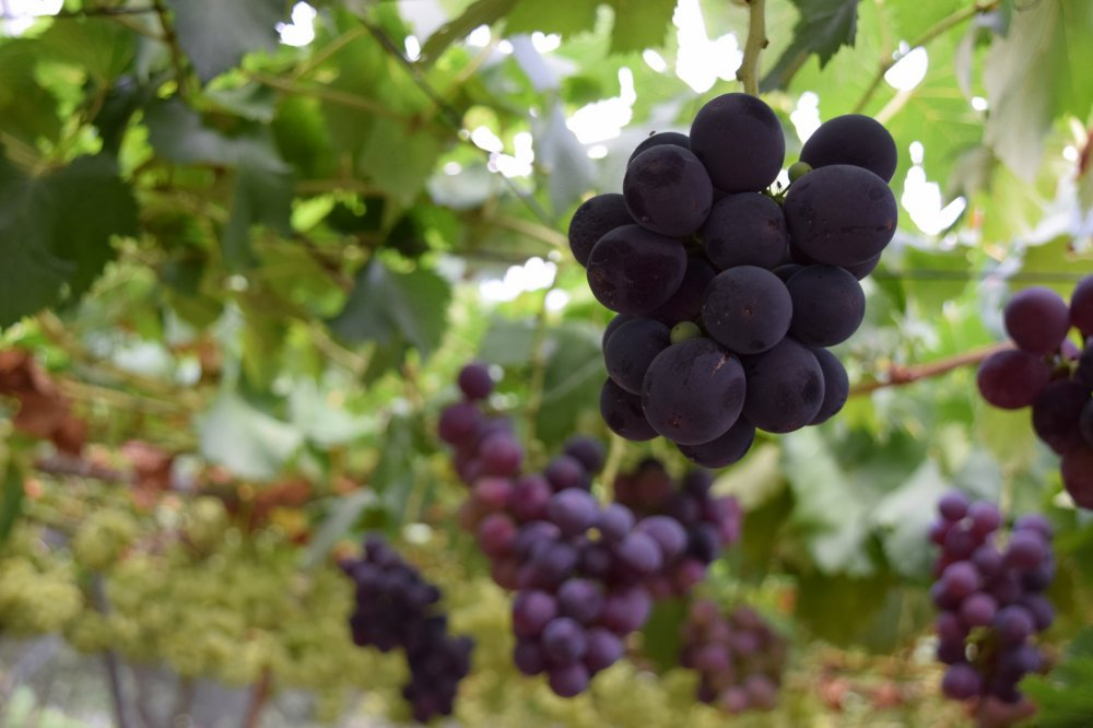 The most delicious grapes ever - we would never have found this place if we were traveling by train