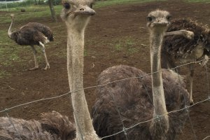There are over 1000 ostriches at the farm - here are just a few saying hello!