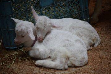 Baby goats enjoying some snuggle time
