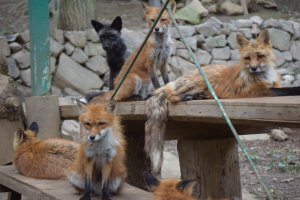 The foxes spot a handler carrying their morning snack