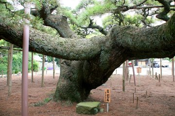 Japan's widest pine tree with branches extending 30 metres...