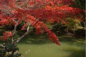 池边的红叶