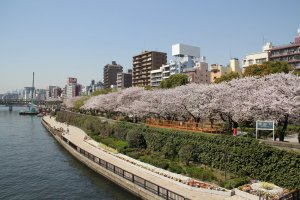 Cherry blossoms in full bloom along the river at Sumida Park